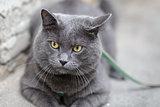 young british cat looking towards camera