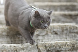 young british cat on stairs