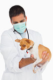 Vet in protective mask checking chihuahua