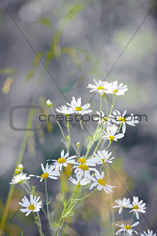Chamomile flowers in a meadow in the park