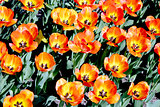 Tulips, garden floral design, decoration flowers, tulips