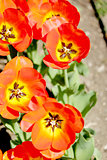 Tulips, garden floral design, decoration flowers, tulip