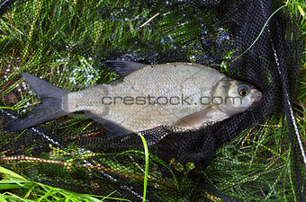 Catched fish (Abramis Brama) on the bank in drop net