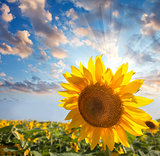Sunflower against beautiful sky with sunbeam / summer