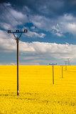 Rape field and blue sky