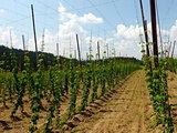 Hop yard in summer