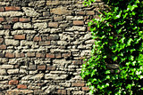 stone wall covered in ivy