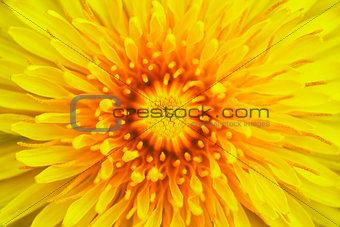 bloom of dandelion