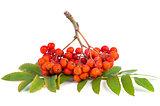 Rowan (ashberry) cluster