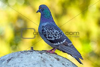 Gray dove standing
