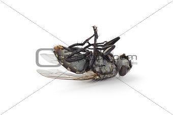 Dead fly isolated on white