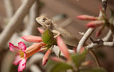 Bearded dragon (lizard)