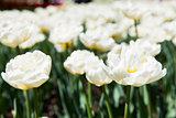 Casablanca tulip