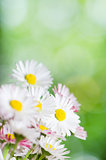 Daisy flowers, close-up. Summer background