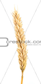 Close up wheat cereal crops