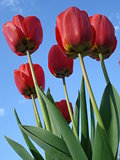 Sunny red tulips