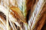 Closeup of wheat spikes background