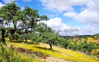 Forest of oak cork at south of Portugal