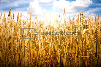 Cereal crops and sunlight