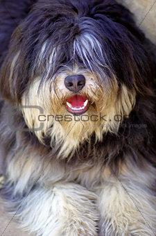 Portuguese shepherd dog