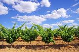 Green vineyard at south of Portugal