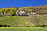Idyllic springtime hill vineyard and nature