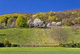 Idyllic springtime hill vineyard and nature