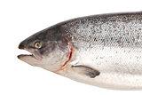 Fresh big salmon