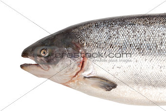 Fresh big salmon