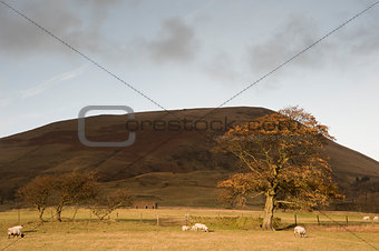 Autumn tree and sheep in foothills of Kinder Scout in Peak Distr