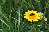 bee and red mites on wild flower