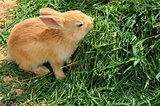 bunny rabbit feeding on grass