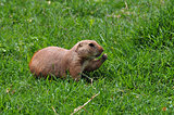 prairie dog rodent eating grass