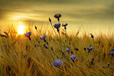 summer sunset over grass field with shallow focus