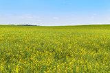 yellow blooming rapeseed field