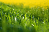 juicy green grass, backlit
