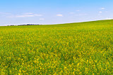 rapeseed field during flowering