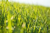 Natural background: grass backlit