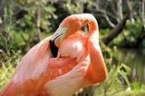Pink Flamingo (Phoenicopteridae)