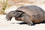 Gopher Tortoise (Gopherus polyphmus)