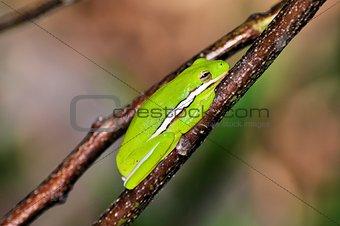 Green Tree Frog (Hyla cinerea)