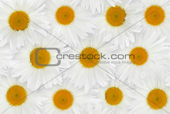Chamomile flower background