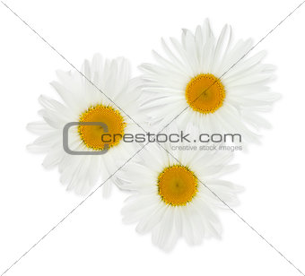 Three chamomile flowers