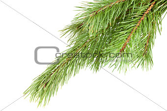 Green Firtree isolated on white background