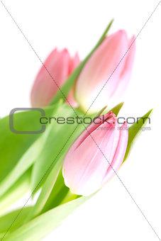 Beautiful pink tulip flowers