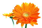 Orange gerbera flower