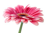 Pink gerbera flower on stem