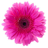 Purple gerbera flower