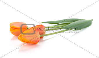 Three lying tulips
