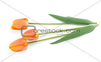 Three lying tulips